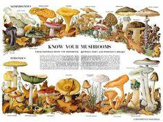 Wee Blue Coo Science Biology Mycology Mushroom Gus Toadstool Chart Unframed Wall Art Print Poster Home Decor Premium Mushroom Images, Mushroom Art, Mushroom Fungi, Vintage French Posters, Mushroom Tattoos, Wall Art Prints, Poster Prints, Science Biology, Medicinal Plants