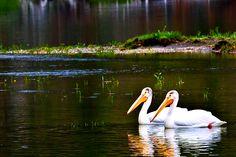 Pelicans gliding along the Yellowstone Wildlife, Bird, Animals, Animales, Animaux, Birds, Animal, Birdwatching, Animais