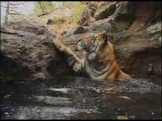 Тигр купается | Tiger takes bath - YouTube