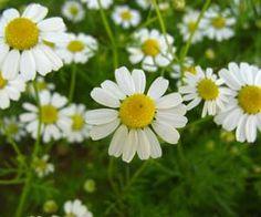 Imagens de flores: Camomilas