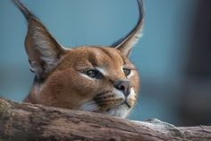 Caracal's world