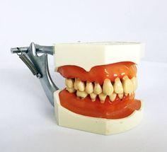 Vintage Dental Study Model by Nissin Dental by GrandpasMarket