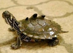 Ringed Map Turtle: Awesome little turtle with what appears to be fins, spikes, or mountains in their shell. Only found on the Pearl River. 2016