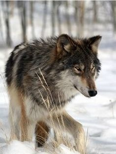"""""""Wolves have been reintroduced to Idaho and  have migrated into Eastern Oregon. They are the subject of some controversy and local ranchers and wilderness advocates are working out how to have a healthy wolf population and a viable cattle and sheep industry. Most wolves have mixed black, blond, and brown coloring although wolves come in nearly every shade from pure white to completely black."""""""