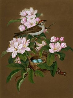 This delightful spring watercolour of a Chipping Sparrow is by Isaac Sprague and appears in his Sprague's Natural History  published sometime in the 1840s. Self taught, Sprague's ability to both accurately and artistically depict plants and animals  meant he became recognised as one America's top illustrators in the rapidly growing field of scientific illustration.