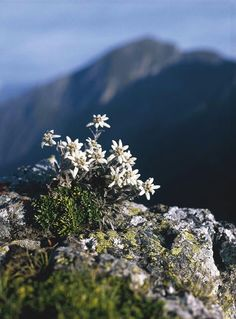 Edelweiss (szarotka), Swiss Alps. I love them. They grow in Polish Pieniny and Tatra Mountains, too. Once I tried to plant them in my rock garden - they survived 2 seasons and then disappeared :(