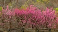 Blooming Redbud Trees, Natchez Trace Parkway, Tennessee by Willard Clay | Webshots