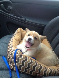 OMG! Look at all that love and joy!!!!!!! #corgi
