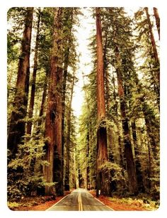 Redwood forest, this is where i want my wedding to be. beautiful weather and nothing like it the world