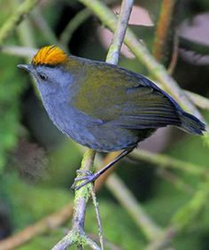 Wrenthrush (Zeledonia coronata) is a unique species of nine-primaried oscine which is endemic to Costa Rica and western Panama. Neither a wren nor a thrush, it has a short tail, rounded wings and elongated tarsi.