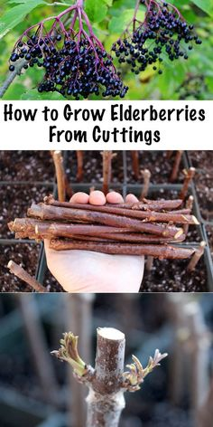 Growing Elderberries from Cuttings Propagating elderberries is simple all you need is a few hardwood cuttings and a bit of patience elderberries growing propogating permaculture homesteading herbalism Elderberry Cuttings, Elderberry Bush, Elderberry Growing, Elderberry Gummies, Elderberry Varieties, Elderberry Liqueur, Elderberry Benefits, Elderberry Recipes, Organic Vegetables