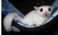 Luke chilling out in his new cage.    Luke is a white mosaic sugar glider.