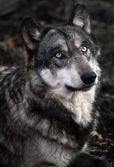 This is not a wolf. Wolves do not have blue eyes. Every wolf you see that has blue eyes is probably a wolf dog hybrid, or good editing. Beautiful Wolves, Most Beautiful Animals, Beautiful Creatures, Beautiful Eyes, Pretty Eyes, Amazing Eyes, Wolf Spirit, Spirit Animal, Wolf Pictures