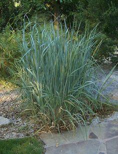 SmartScape Plant Details - Indiangrass