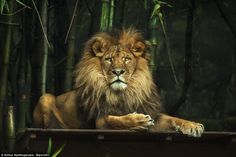 A proud lion sits on a platform at Melbourne Zoo transformed to show the humanistic qualities that Mr Xanthopoulos hoped to capture in a bid to bring to light the beauty that is being threatened by extinction