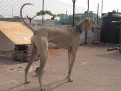 Kanni Dog 2