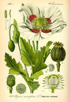 Opium poppy (Papaver somniferum). Illustration by Prof. Dr. Otto Wilhelm Thomé Flora von Deutschland, Österreich und der Schweiz 1885, Gera, Germany.