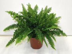 A szobapáfrány (Nephrolepis exaltata) gondozása - CityGreen. Boston Ferns, Paludarium, Cactus Plants, Indoor Plants, Plant Leaves, Sweet Home, Herbs, Beautiful, Gardening