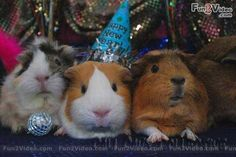 Party Guinea pigs