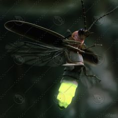 Fire flies or lighting bugs as we know them. Lighting Bugs, Mantis Religiosa, Cool Bugs, Beautiful Bugs, Bugs And Insects, Chenille, Science And Nature, Beautiful Creatures, Animal Kingdom