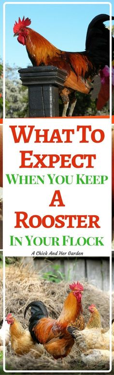 To Expect When You Keep A Rooster In Your Flock Is a rooster a good idea for your flock? Here are some pros and cons to help you decide!Is a rooster a good idea for your flock? Here are some pros and cons to help you decide! Raising Backyard Chickens, Backyard Poultry, Keeping Chickens, Backyard Farming, Meat Chickens, Heritage Chicken Breeds, Chicken Feed, Chicken Coops, Laying Hens