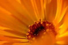 Calendula oil is obtained by infusing calendula's orange petals in another vegetable oil in order to extract its properties. This process is known as maceration. Calendula is known for its great skin properties and can be used to treat bruises, cuts and eczema. It is also useful for chapped and dry skin.
