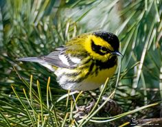Another Townsend's Warbler