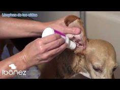 Limpieza de los oídos de los perros - YouTube