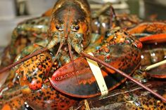 Fourchu Lobsters Come to New York Restaurants - NYTimes.com  Aquabestnyc.com