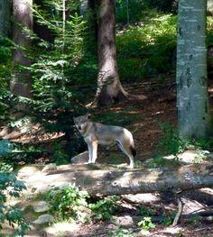 Wölfe mitten im Mai