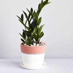 ZZ plant. | via The Sill