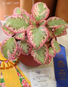 Episcia 'Cleopatra' - on exhibit at the DAVS Convention in Atlanta,  Plants or stolens are available.
