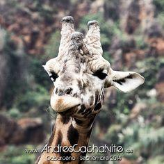 Una #jirafa de vida apacible en #cabarceno . @animals @nature