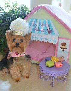 Move over, Cake Boss! Yorkie, Yorkshire Terrier, Dog (Devils Food undoubtedly) I made This Chef Millie LaRue hat she is wearing! :) Hat made by : Roni Goldberg Designs. Please stop by Our FB page! Perros Yorkshire Terrier, Yorkshire Terrier Haircut, Teacup Yorkie, Yorkie Puppy, Yorkies, Animals And Pets, Cute Animals, Baby Animals, Yorkie Names