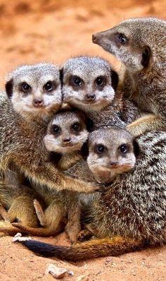 this #Mumma knows her kids love the #meerkats at Taronga Zoo so much!