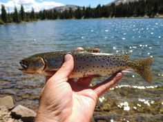 A cutthroat trout out of Lightning Lake. Fishing the High Uintas!