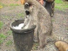 This raccoon is teaching everyone some hygiene basics.