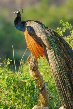A wild male peacock at Yala West National Park in Sri Lanka. Lovely