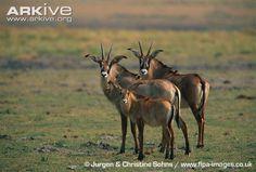 Roan Antelope, Hippotragus equinus (Artiodactyla, Bovidae)