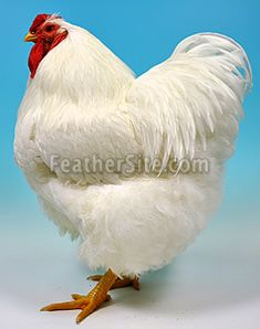 White Wyandotte rooster, Supreme Champion at a UK show
