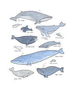Whales illustration chart print 11x14 watercolor and ink drawing