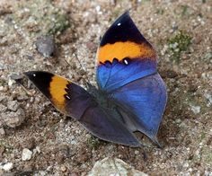 Naranja Oakleaf (Kallima inachus siamensis)