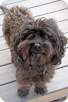 Adopt a Pet :: Frankie - Smyrna, GA - Poodle (Miniature) Mix