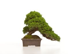 Great range of outdoor bonsai trees available at www.allthingsbonsai.co.uk