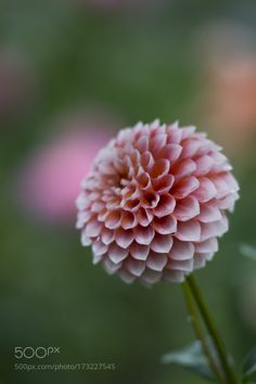 Dahlia by MasashiYanase #nature #photooftheday #amazing #picoftheday