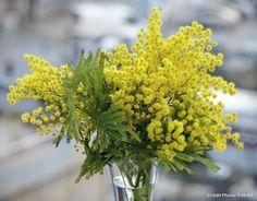 Mimosa en bouquet