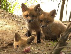 Baby Foxes Red Fox Cubs by hapyday – Marvin D from Tennessee Stupid Animals, Fennec, Baby Animals, Cute Animals, Cat Whisperer, British Wildlife, Little Fox, Fox Art, Losing A Dog