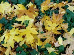 Fallen Big Leaf Maple fall color in ivy.