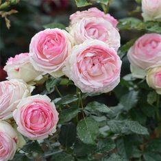ROSIER PIERRE DE RONSARD® - GRIMPANT AB - FERME DE SAINTE MARTHE - Certainement le rosier le plus connu ! Il s´agit d´un rosier grimpant aux fleurs couleur crème et rose en forme de rose ancienne. Ce rosier est dit remontant, c'est-à-dire qu´il...