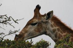 Kragga Kamma Game Park. Port Elizabeth Port Elizabeth, Online Tickets, South Africa, Trip Advisor, Giraffe, Park, Animals, Photos, Felt Giraffe